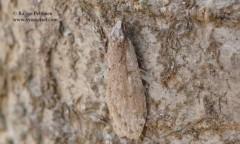 Semioscopis avellanella