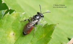 Sphecodes sp. 1