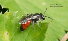 Sphecodes sp. 2