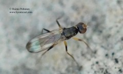 Strongylophthalmyia pictipes 1