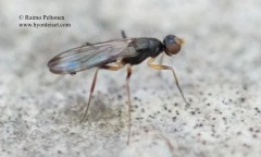 Strongylophthalmyia pictipes 2