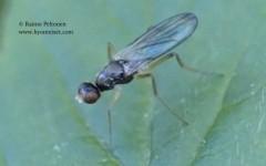 Strongylophthalmyia ustulata 2