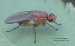 Suillia affinis 2