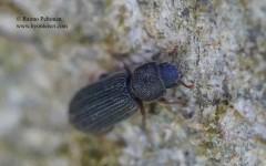 Synchita humeralis
