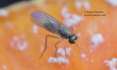 Syntormon bicolorellus 1