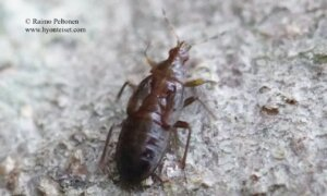 Temnostethus gracilis 2