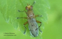 Tetanocera arrogans