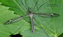 Tipula lateralis 2