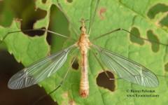Tipula lunata