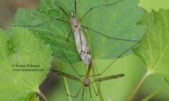 Tipula submarmorata 2