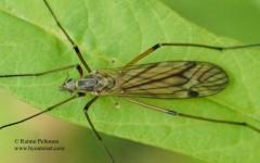 Tipula variicornis