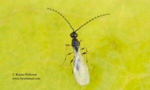 Trichopria sp. 1