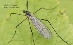 Tricyphona cf. immaculata 2