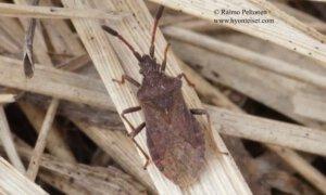 Ulmicola spinipes 1
