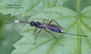 cf. Cubocephalus sp.