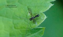 cf. Phaenocarpa sp. 2