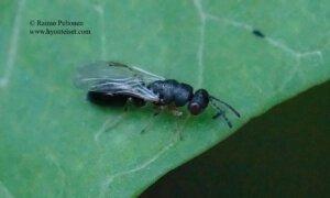 Eurytomidae: cf. Tetramesa sp.